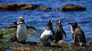 penguins_wide-aaa1e1df17338b5a165c1571a397f09e1ff5d808-s5-c85